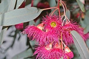 Eucalyptus_sideroxylon_flowers